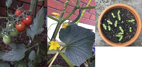 """前野さんが""""変化""""を楽しみながら育てるという植物たち。(左から)ミニトマト、きゅうり、ひまわり"""